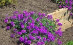 1774-Homestead-Purple-Verbena