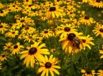 Black-Eyed-Susan-Backgrounds